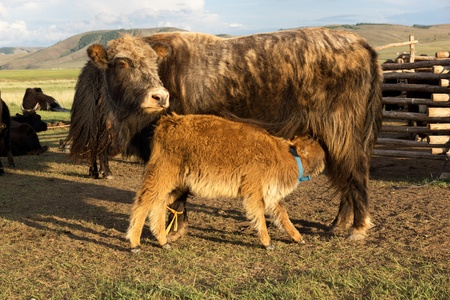 suckling: Brown cow and calf suckling in the Mongolia Stock Photo