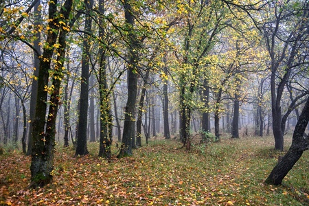 deciduous woodland: Mist in the autumn forest