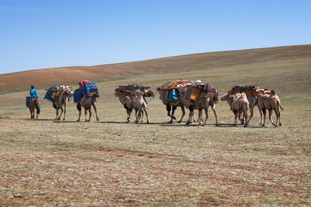 dismantled: NORTH MONGOLIA, MONGOLIA - AUG 14, 2012: Caravan of camels transporting dismantled tent of Mongolian nomads to a new location  Editorial