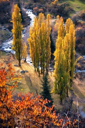 poplars: Group poplars by a mountain creek in autumn Stock Photo