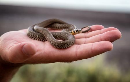 natrix: Small non-poisonous grass snake on the mans palm Stock Photo