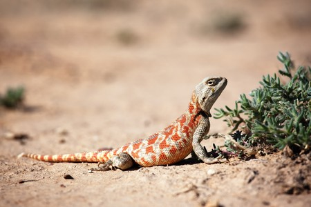 desert lizard: Lizard in desert of Central Asia, Kazakhstan