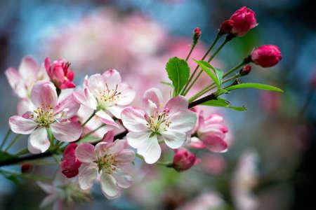 arbol de manzanas: Close-up foto de flores de manzana