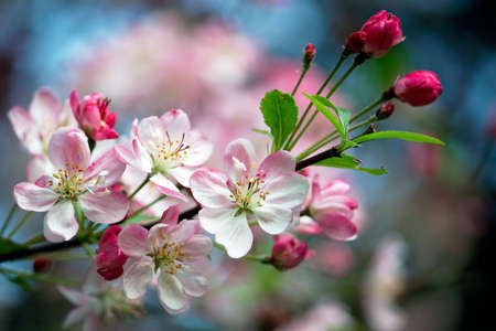 Close-up photo of apple blossoms