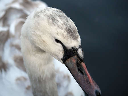Close-up photo of an adolescent swan photo