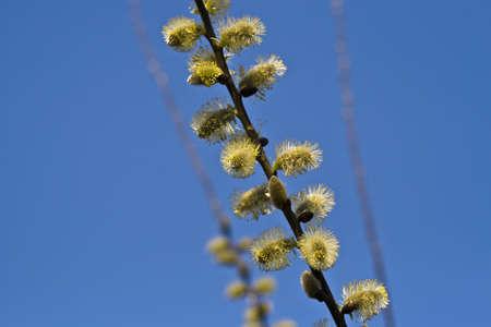 cetrino: Close-up of Cabra Willow (tambi�n llamada Gran cetrino) contra un cielo azul.