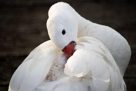 Close up of a Coscoroba swan (Coscoroba coscoroba) photo