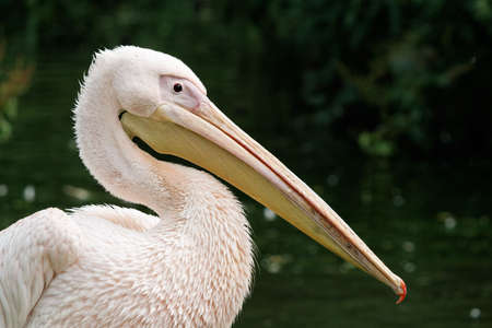 Close-up of an Eastern White Pelican (Great White Pelican) with a long beak  photo