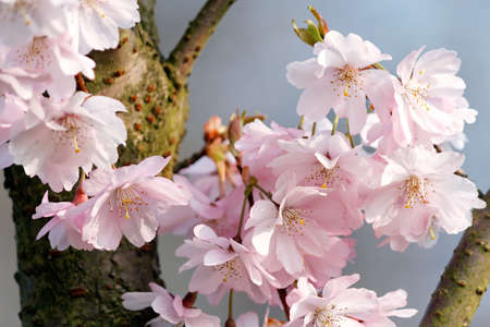 Close-up of cherry blossoms (Prunus subhirtella) in April