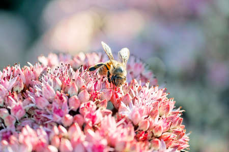 Closer-up photo of a bee in a flower field collecting honey  Stock Photo