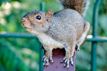 A curious grey squirrel (London, UK)