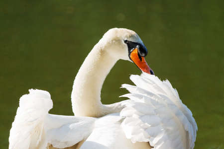 A mute swan spreading its wings and looking back