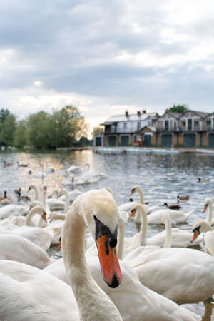 A group of swans in Windsor, England