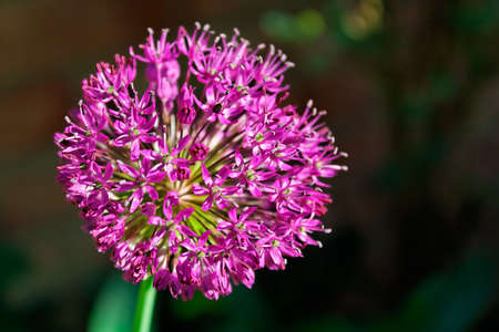 Closeup of an allium flower head. Shallow depth of field.  Stock Photo