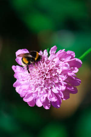 Photo of a bumblebee on a pink scabiosa flower Stock Photo