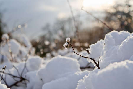 Warm sunset light on snow-covered bush. Shallow depth of field.