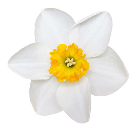 Photo of a short cup daffodil isolated on a white background