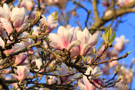 View from underneath a Magnolia tree against a blue sky