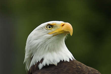 Profile headshot of American Bald Eagle looking in the distance Stock Photo - 1193561