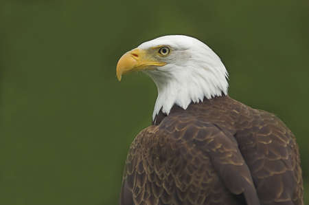 Bald Eagle perched high with trees in the background Stock Photo - 1193555