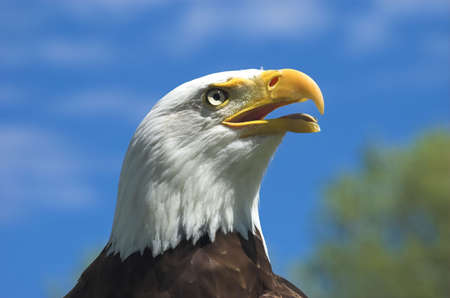 Profile headshot of American Bald Eagle looking in the distance against a bright blue sky Stock Photo - 1193554