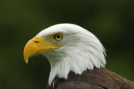 Bald Eagle viewed close up from the side Stock Photo - 1193571