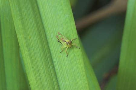 Grasshopper on blade of grass Stock Photo - 1282949