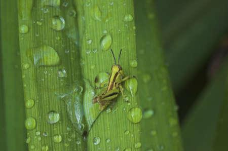 Grasshopper on wet balde of grass Stock Photo - 1282950