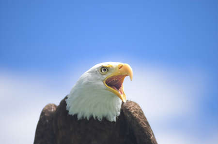 strenght: Bald Eagle screaming at something in the distance