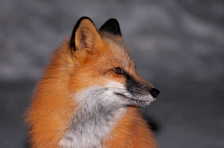 Beautiful Red Fox sitting in the street on a cold winter night in Northern Ontario photo
