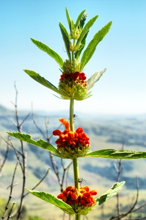 cowl: Flowering Dagga plant (Leonotis leonurus). Shot in Monks Cowl nature reserve, Drakensberg Mountains, South Africa.