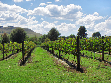midlands: Sunny vineyards. Shot in Abingdon, Midlands Meander, Natal, South Africa.