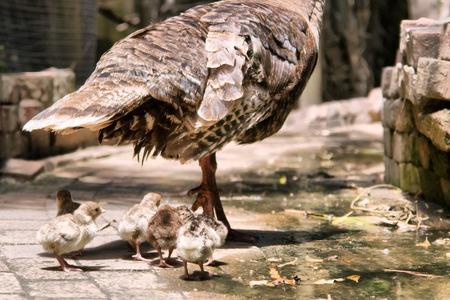 turkey cock: Turkey chicks next to mom. Shot in South Africa.