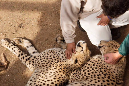 cheetahs: Two cheetahs with people. Shot near Oudtshoorn, South Africa.