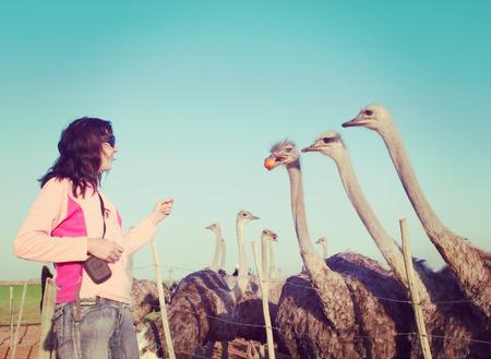 avestruz: Mujer joven alimenta avestruces con naranjas.