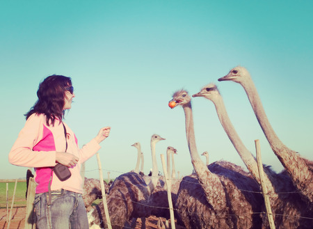 south african birds: Young woman feeds ostriches with oranges. Stock Photo