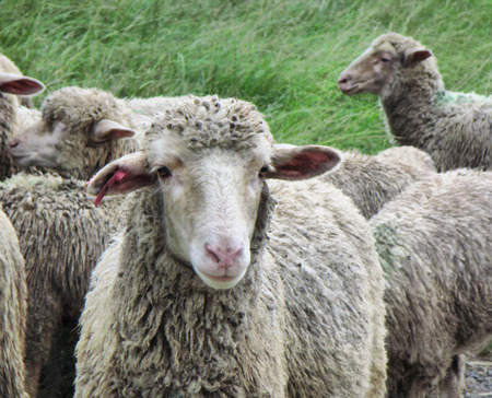 kwazulu natal: Drakensberg sheep. Shot in Monks Cowl area, Drakensberg Mountains, South Africa.