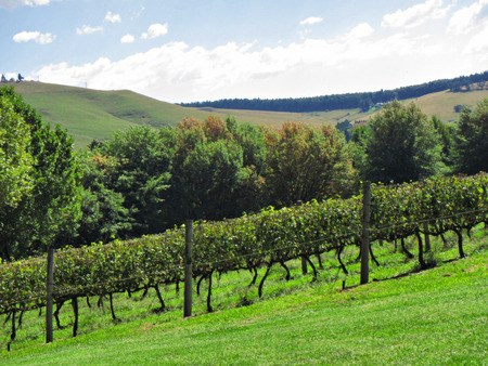 kwazulu natal: Sunny vineyards on hill. Shot in Abingdon, Midlands Meander, Natal, South Africa. Stock Photo