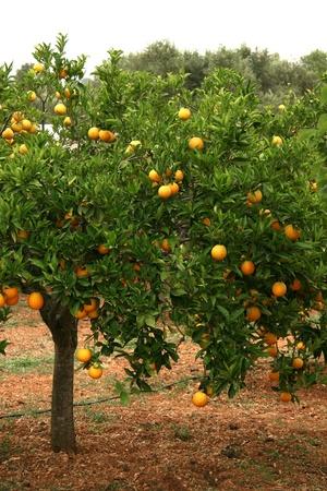 citrus tree: Orange Tree