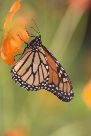 Monarch butterfly on colorful cosmos flower. photo