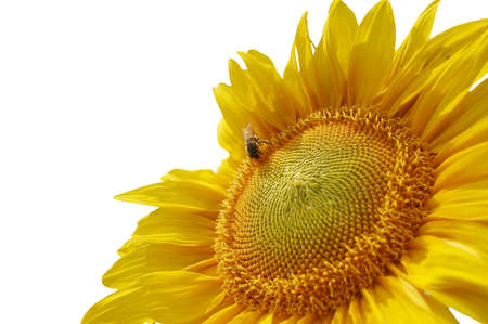 Cropped sunflower with a bee