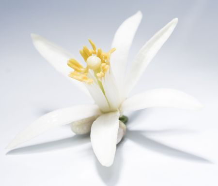 White single asian (lemon) flower pattern with shadow on gradient background