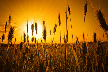 A lot of ears silhouettes over awe fantastic sun light. Rural outdoors image in warm colors. photo