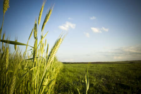 Beautiful summer background in vibrant colors. Young green wheat standing over the clear blue sky. Saturated image with vignette effect