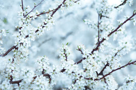 Cold blue tone cherry blossom background. Soft image with selective focus Stock Photo