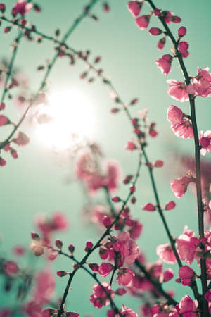 Abstract soft background with cherry blossom and sunlight in shot. Selective focus image Stock Photo