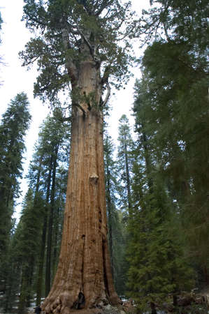 general: The General Sherman Tree, worlds largest living tree,age 3,200 years, height 311 feet, Sequoia National Park, California, USA (the base is 40 feet diameter)