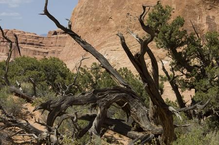 gnarled: Utah, EE.UU. - 03 de marzo 2012: �rbol retorcido en el Diablo Editorial