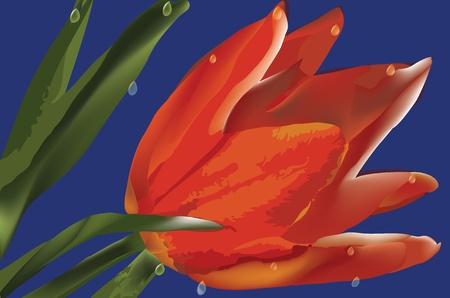 tulipe rouge: tulipe rouge avec des gouttes sur fond bleu