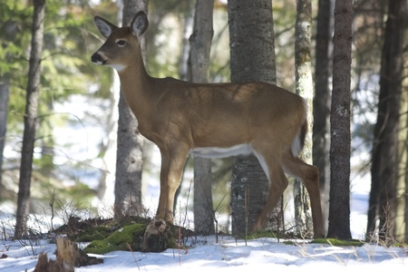Whitetails deer in its natural habitat in rural country of Quebec, Canada photo